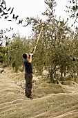 Man Harvesting Olives in Tuscany