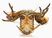Live Maine Lobster Turned on Back; White Background
