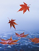 Maple Leaves Falling into Water; Leaves Floating