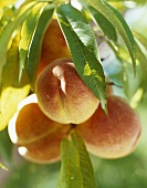 Peaches on the Branch