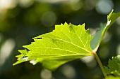 A Vine Leaf