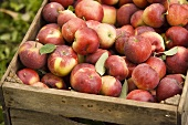 Fresh Picked Apples in a Crate; Outdoors