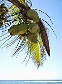 Coconuts in Palm Tree; Ocean; In Hawaii