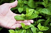 Hand Selecting Fresh Mint