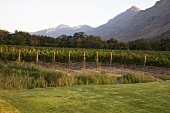 Vineyards at Lanzerac Hotel, Stellenbosch,Western Cape South Africa