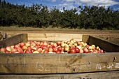 Large Crate of Fresh Picked Royal Gala Apples; Ceres, South Africa