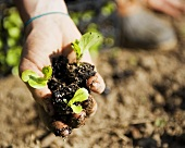 Hand Holding Three Organic Lettuce Seedlings in Dirt