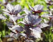 Organic Opal Purple Basil (Ocimum Basilicum) Plant