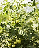 Young Organic Heirloom Tomato Plant