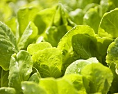 Young Organic Lettuce Leaves