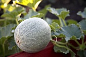 Organic Cantaloupe Growing in Garden