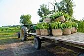 Körbe mit Maiskolben auf Traktoranhänger
