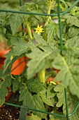 Tomato Plant with Blossom