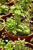 Various herbs in flowerpots