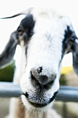 Goats Face; Close Up