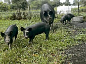 Black Pigs at Whistling Train Farm in Washington