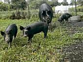 Black Pigs at Whistling Train Farm in Washington