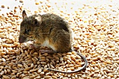 Live mouse on cereal grains