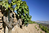 Very old Grenache vine, L'Ermita, Gratallops, Spain