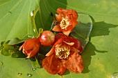 Pomegranate flowers, Thailand