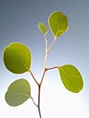 A sprig of eucalyptus