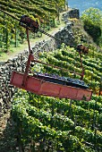 Grapes in transporter, Valtellina, Lombardy, Italy