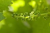 Unreife Weintrauben