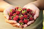 Two hands full of fresh raspberries