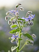 Borage with flowers (close-up)