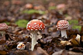 Fly agaric mushrooms on the floor of a mixed forest