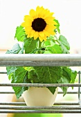 Sunflower in flowerpot