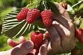Raspberries being picked