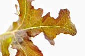 An oak leaf (close-up)