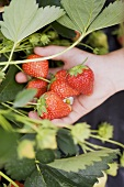 A hand holding strawberries a the plant