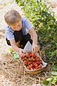 A little boy picking strawberries in a strawberry field