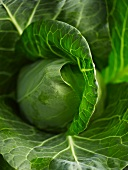 Pointed cabbage (close-up)