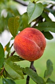 A ripe peach