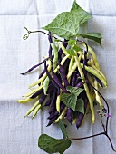 Yellow and purple bush beans