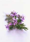 Sprig of rosemary with flowers