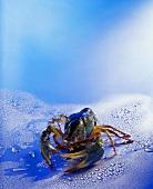 A freshwater crayfish