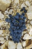 Shiraz grapes, Roussillon, France
