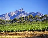 Weingebiet in Tulbagh, Südafrika