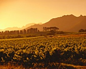 Weingebiet am Morgen, Franschhoek, Südafrika