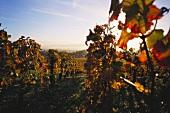 Vineyard at Vosne-Romanee, Burgundy, France