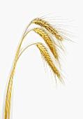 Three ears of barley