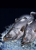 Two Nile perch on ice