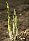 Four spears of green asparagus in the field (close-up)