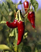 Chili peppers (Capsicum annuum), on the plant