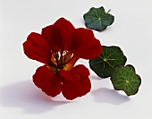 Nasturtium, variety: Red Wonder (Tropaeolum majus), flower