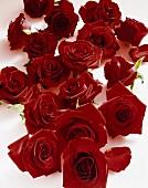 Red roses (Rosa spp.)